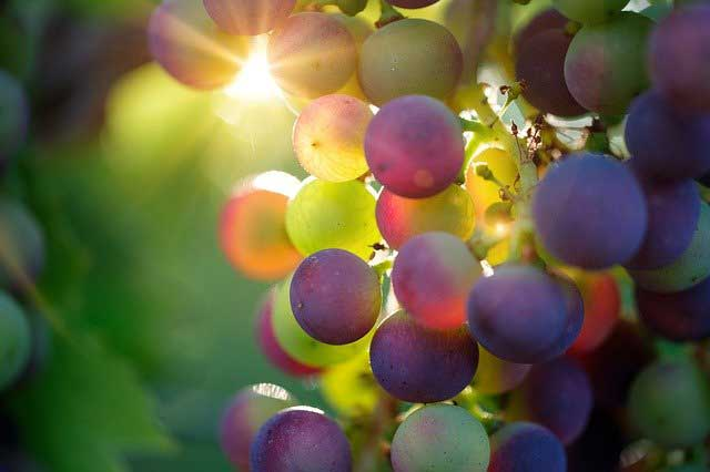 Grapes Fruit Benefits