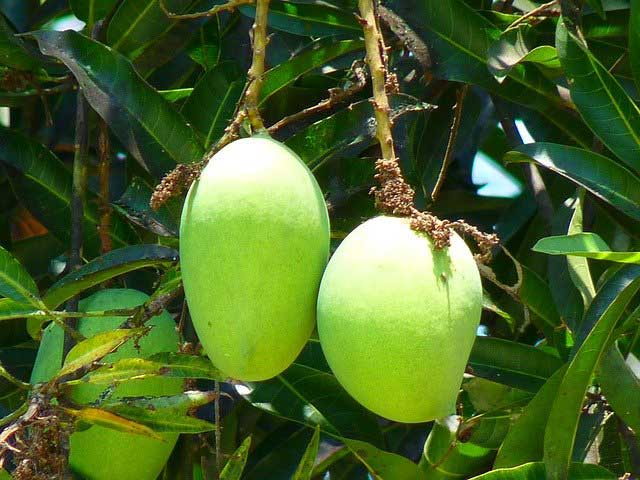 Mangos Fruit Benefits