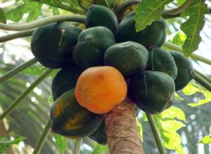 Papayas Fruit Benefits
