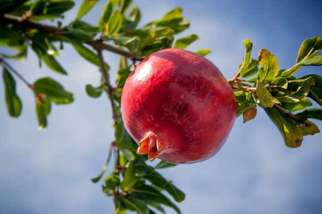 Pomegranates Fruit Benefits