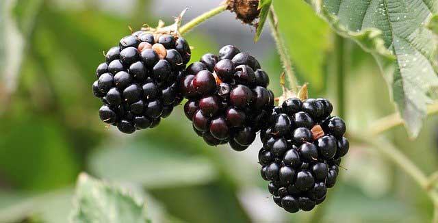 Blackberries Fruit Benefits